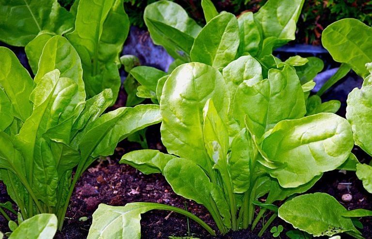 verduras son fuente de vitaminas y fibra. Las acelgas son un complemento perfecto para tus cocidos.